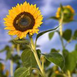 Sun. Flower. Bees.