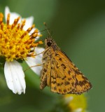 Bush Hopper 黃斑弄蝶 Ampittia dioscorides