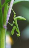 Large Green Mantid 廣斧螳 Hierodula patellifera