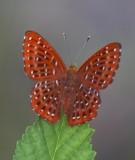 Riodinidae (Metalmarks) 蜆蝶