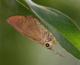 Brown Awl 尖翅弄蝶 Badamia exclamationis
