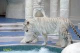 White Tiger Exhibit