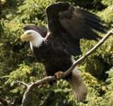 Bald Eagles of the North Island