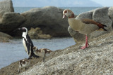 Pinguin and goose