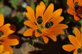 Gorteria diffusa