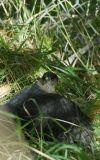 Bird of Prey probably guarding food at Pocatello Zoo _DSC0794.JPG