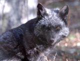 Silver Fox at Pocatello Zoo _DSC1099.jpg