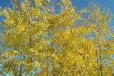 aspen autumn leaves DSCF0714.jpg