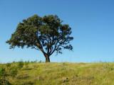 Azinheira // Holm Oak (Quercus ilex subsp. rotundifolia)