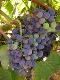 Cacho de Uvas /|\ Cluster of Grapes (Vitis sp.)