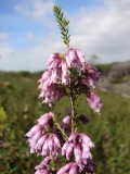 Urze-vermelha (Erica australis)