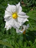 Flor da Batata /|\ Potato plant Flower