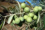Azeitonas da variedade Maçanilha Algarvia /|\ Olives (Olea europaea)