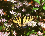 Eastern Tiger Swallowtail on Spring Beauty (130J)
