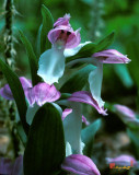 Showy Orchis or Showy Orchid
