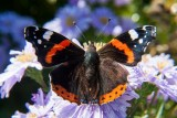 _MG_2082.jpg Aster 'Sapphire' and Red Admiral - © A Santillo 2007
