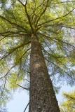 CRW_01131.jpg Tree canopy Raddick Plantation Dartmoor -  © A Santillo 2004