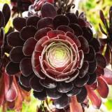 CRW_01658c.jpg Aeonium - Tresco Abbey Garden - © A. Santillo 2004