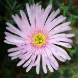 CRW_01688b.jpg Mesembryanthemum - Tresco Abbey Garden - © A. Santillo 2004
