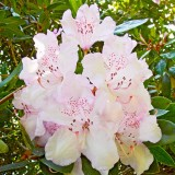 IMG_3905a.jpg Rhododendron - The Lost Gardens of Heligan - © A Santillo 2012