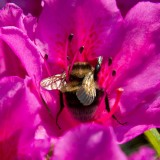 IMG_3920.jpg Bee on Rhododendron - The Lost Gardens of Heligan - © A Santillo 2012