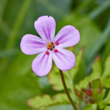 IMG_3194.jpg Unknown wild flower - Solva Pembrokshire Wales - © A Santillo 2011