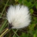 IMG_4329.jpg Cotton Grass - Eriophorum angustifolium - Craig Cerrig-gleisiad Brecon Beacons Wales - © A Santillo 2013