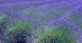 CRW_00166.jpg Field of Lavender - Caley Mill Norfolk - © A Santillo 2003