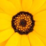 IMG_4882.jpg Cape Daisy or Namaqualand Daisy - Nyamans Haywards Heath Sussex - © A Santillo 2013