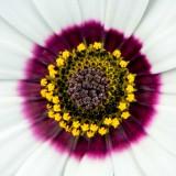 IMG_4885.jpg Cape Daisy or Namaqualand Daisy - Nyamans Haywards Heath Sussex - © A Santillo 2013