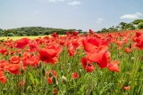 IMG_6672.jpg Field of Poppies 'papaver' - The Lost Gardens of Heligan - © A Santillo 2015