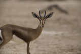 IMG_9494 - Gazella dorcas