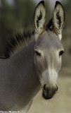 BM4J3816 - Somali wild ass