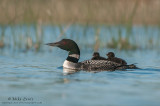 Loon with dual riders in grassy scene