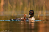 Common Loon baby eating a fish