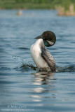 Loon doing Penguin dance