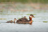 Red necked grebe with three babies