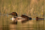Loon with rider and following baby