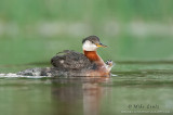 Red-necked Grebe with peeking baby