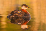 Red necked grebe with baby in golden waters