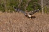 Redtailed Hawk flys across a field