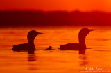 Loon family silhouetted