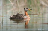 Red-necked grebe in reeds
