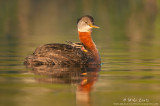 Red-necked grebe with baby in soft light