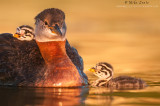 Red-necked Grebe being adored by babies