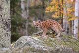 Cougar cub on mossy rock