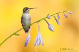 Ruby-throated Hummingbird on Hosta flowers