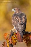 Red-tailed Hawk portrait near Oaks