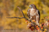 Red-tailed Hawk perched in autumn