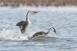 Western Grebes rush and dive